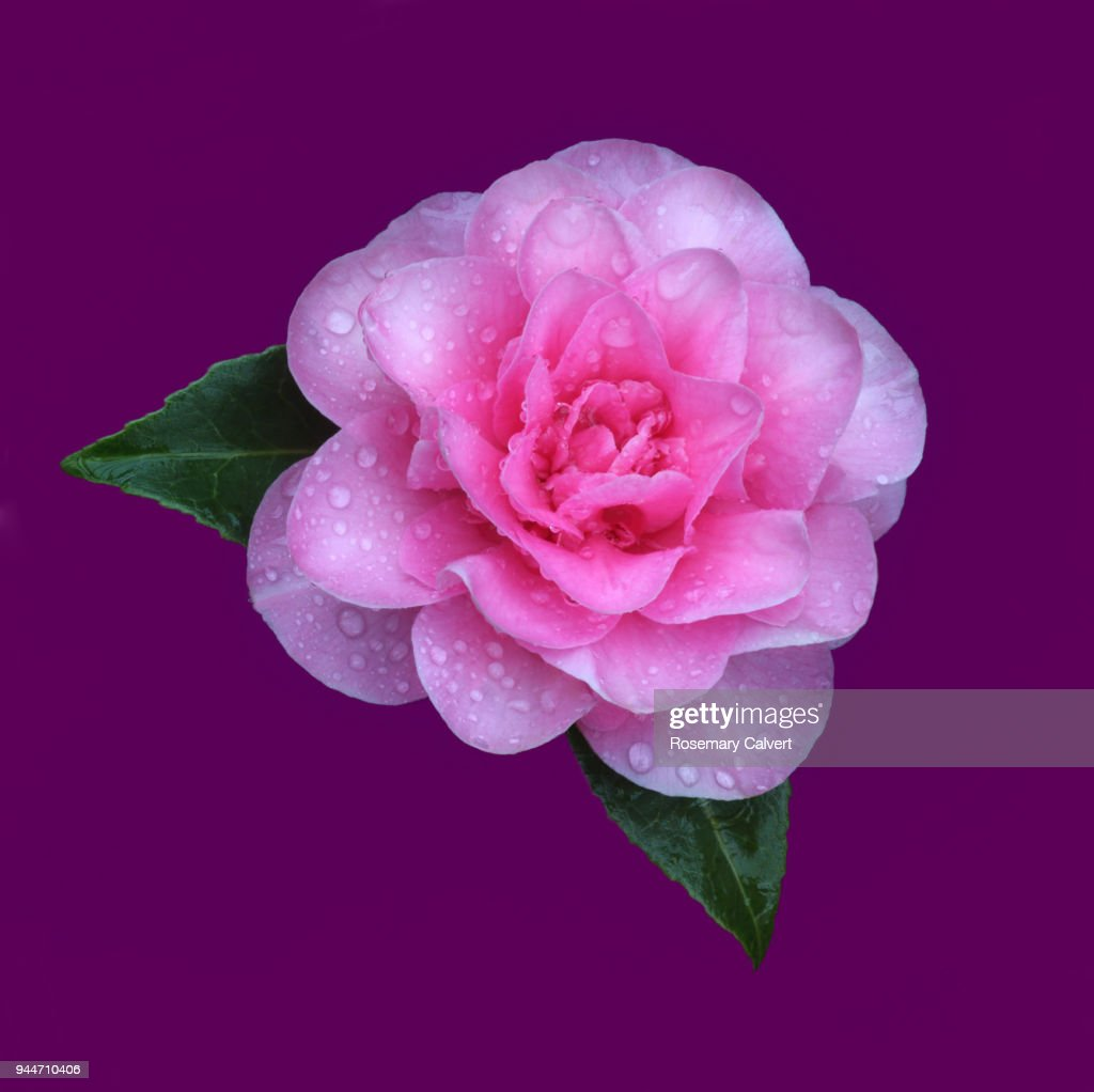 Pink Camellia Flower On Purple Background In Square Stock Photo