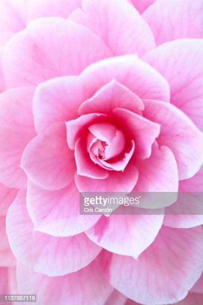 pink camellia flower - cris cantón photography fotografías e imágenes de stock