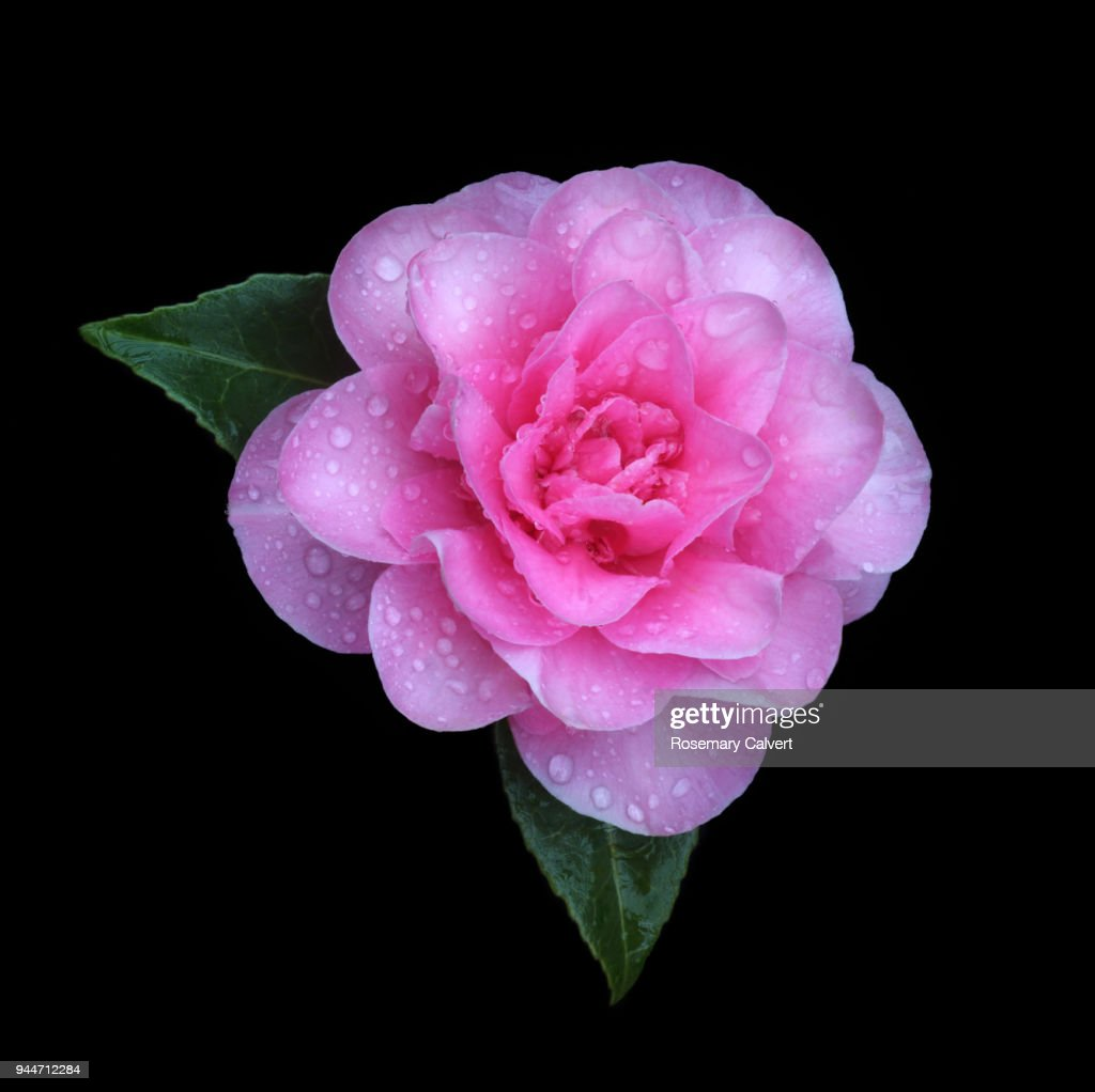 Pink Camellia Flower With Raindrops On Black Square Stock Photo