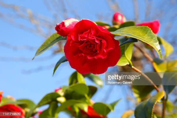 pink camellia flowers against blue sky, england. - flower head stock pictures, royalty-free photos & images