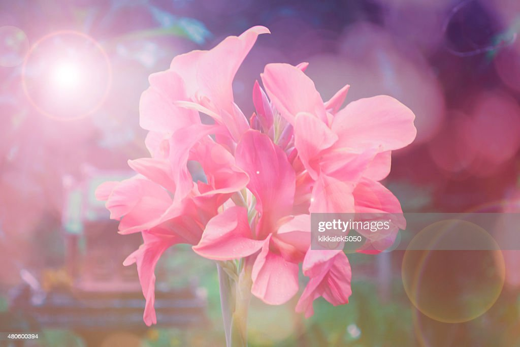 pink canna flower : Stock Photo