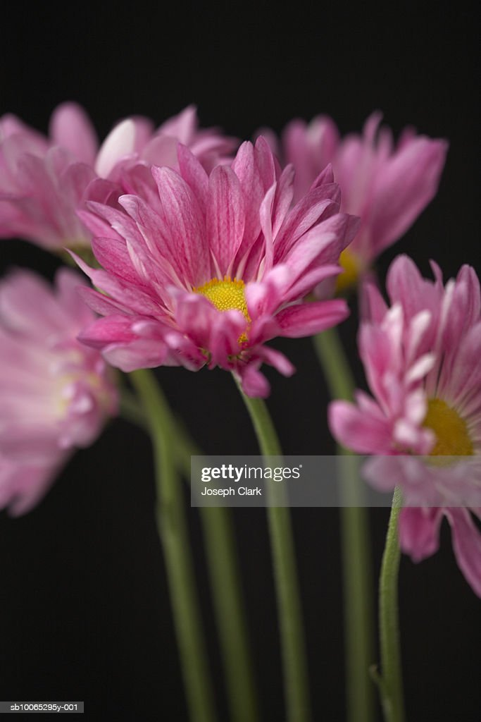 Pink cape daises (Osteospermum), close-up : Foto stock