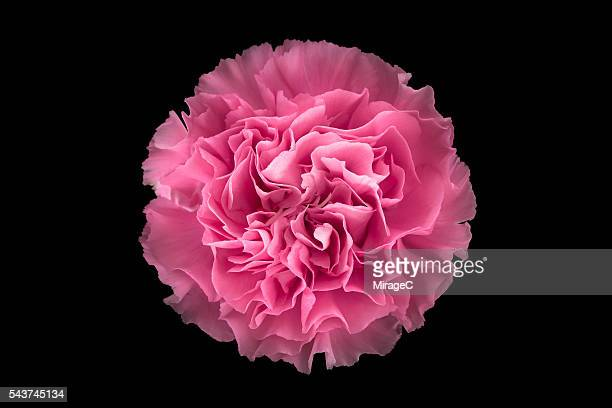 Pink Carnation Flower Black Background, Overhead Close-up View