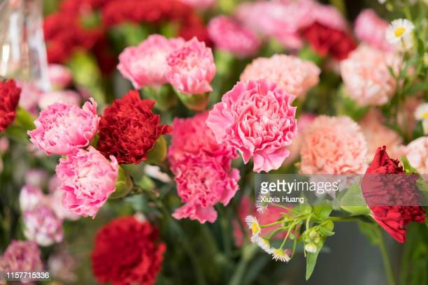 pink carnation - carnation flower stock pictures, royalty-free photos & images