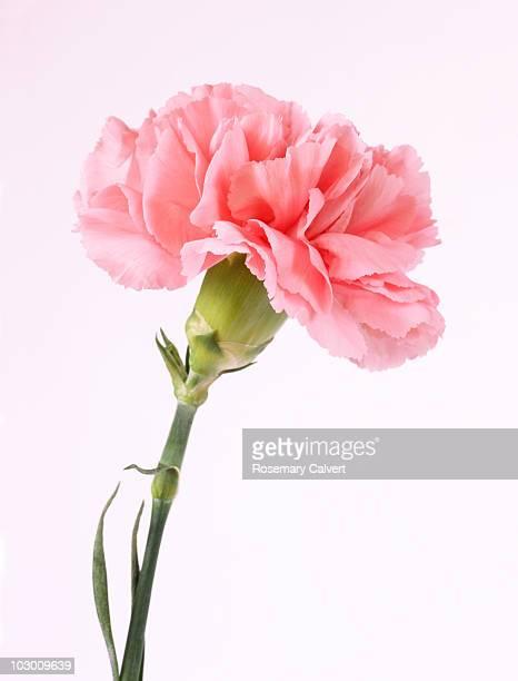 Pink carnation, white background.