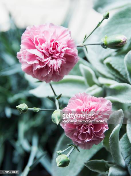 pink carnations, close up - carnation flower stock pictures, royalty-free photos & images