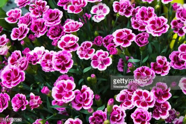 pink carnations - cravo cravo da china imagens e fotografias de stock