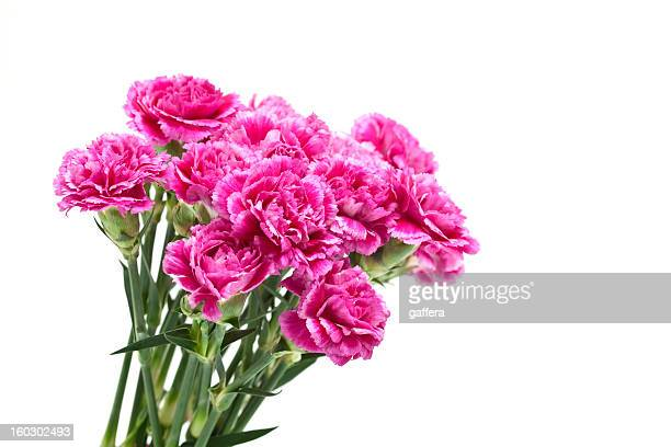 pink carnations - carnation flower stock pictures, royalty-free photos & images