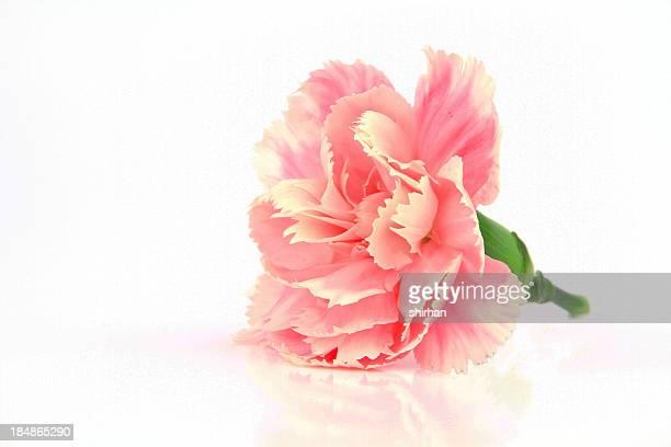 ピンク Carnations