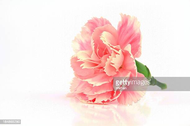 Rosa Carnations