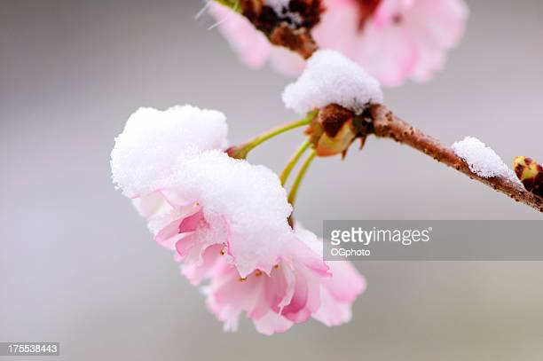 pink cherry blossom covered by an early spring snow fall. - ogphoto stock photos and pictures