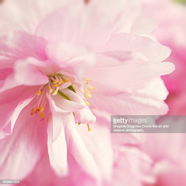 pink cherry blossom flowers - gregoria gregoriou crowe fine art and creative photography stock pictures, royalty-free photos & images