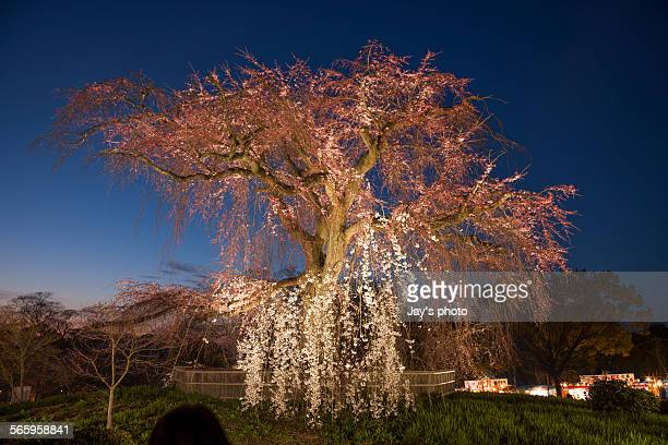 Pink cherry blossom in Kyoto in spring season