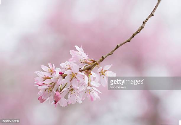 Pink cherry blossom in spring time, Kyoto Japan.