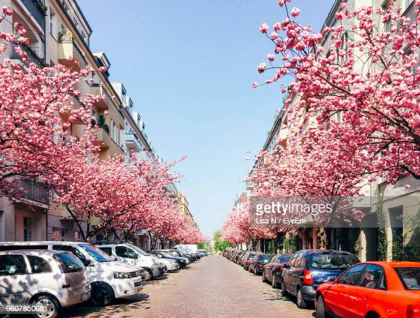 Pink Cherry Blossom On Road In City