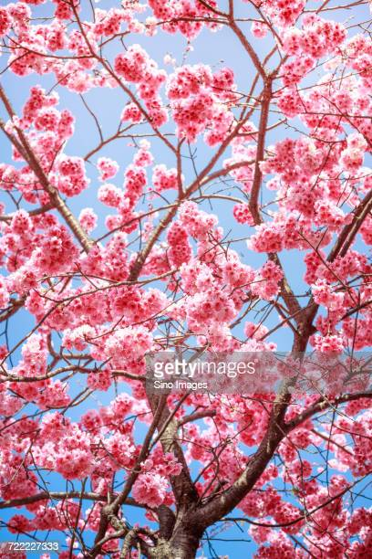 Pink cherry blossom on tree, Japan