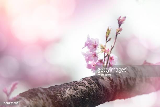 pink cherry blossom on tree. - ええじゃないか 発祥の地 ストックフォトと画像