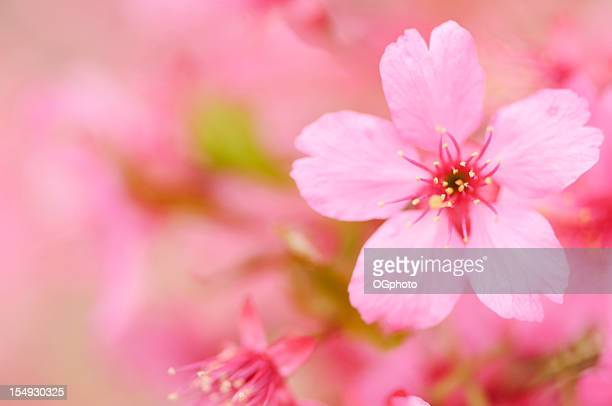 pink cherry blossom - ogphoto stock pictures, royalty-free photos & images