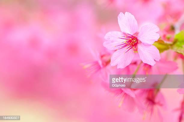 pink cherry blossom - ogphoto bildbanksfoton och bilder