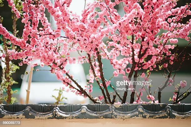 pink cherry blossom - 蔚山 ストックフォトと画像