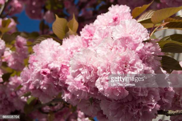 pink cherry blossom - calle principal calle stock pictures, royalty-free photos & images