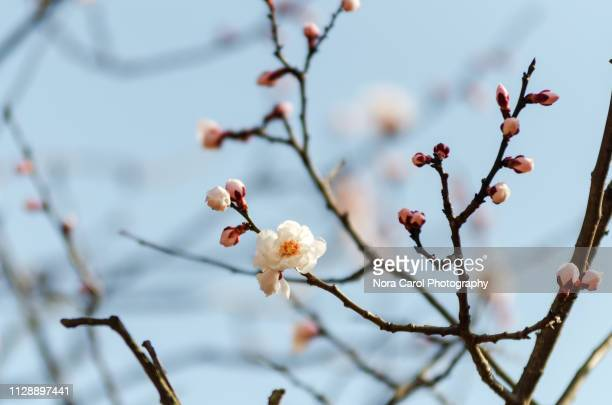 pink cherry blossom sakura - 果樹の花 ストックフォトと画像