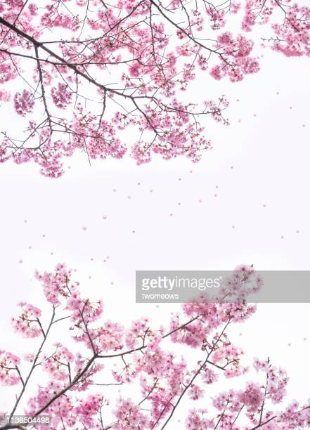 pink cherry blossom trees frame in tokyo japan. - cherry blossom stock pictures, royalty-free photos & images