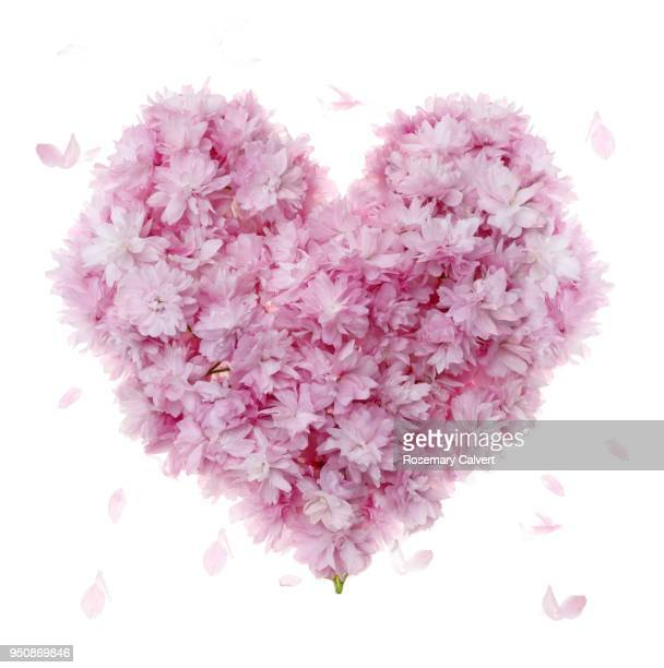 Pink cherry blossom used to create heart shape, on white.