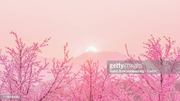 pink cherry blossoms against sky during sunset - cherry blossom stock pictures, royalty-free photos & images