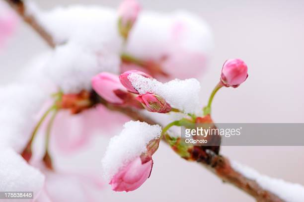 Pink cherry blossoms covered by an early spring snow fall.