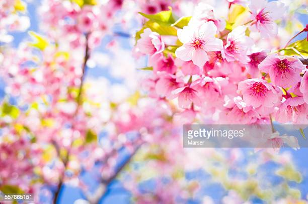 Pink cherry blossoms in bloom