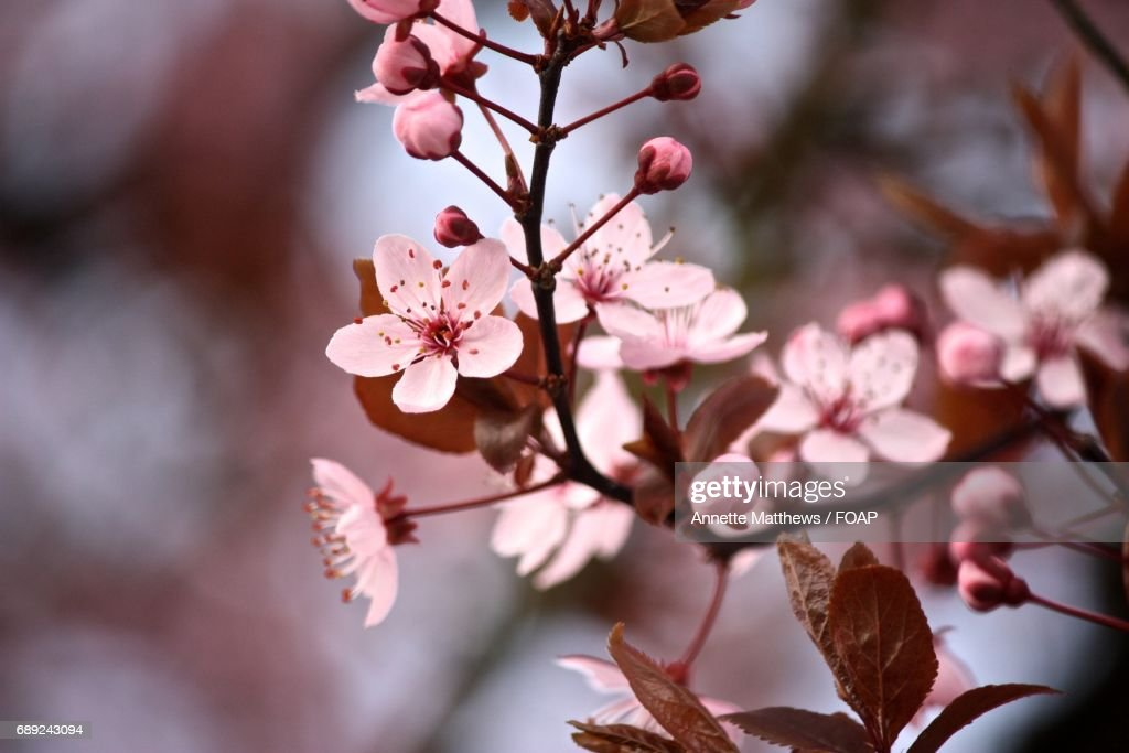 Pink cherry blossoms in spring : Stock Photo