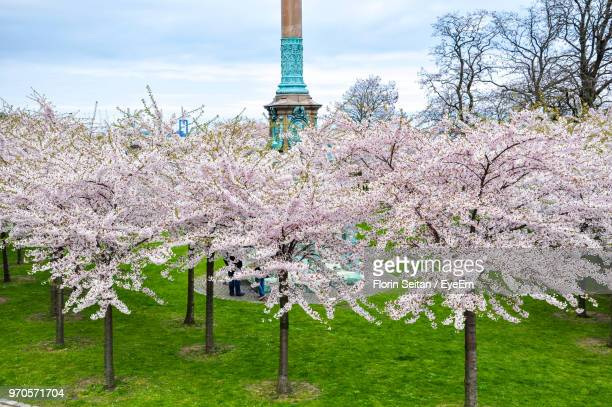 Pink Cherry Blossoms On Field Against Sky
