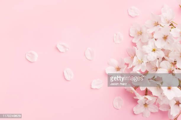 pink cherry blossoms - 花びら ストックフォトと画像