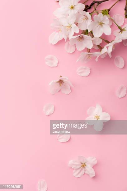 pink cherry blossoms - petal stock pictures, royalty-free photos & images