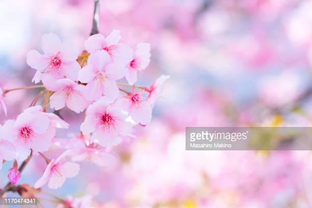 pink cherry blossoms - 桜 ストックフォトと画像