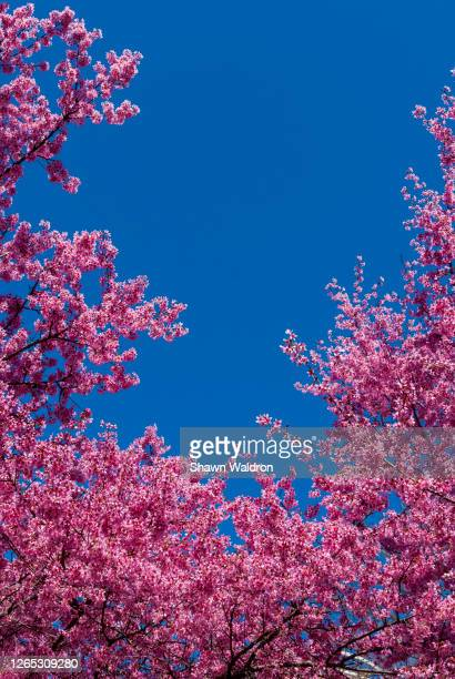 pink cherry blossoms - flushing queens stock pictures, royalty-free photos & images