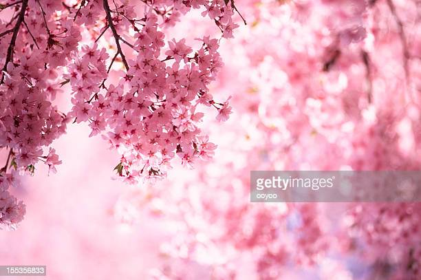 pink cherry blossoms - pink flowers stock pictures, royalty-free photos & images