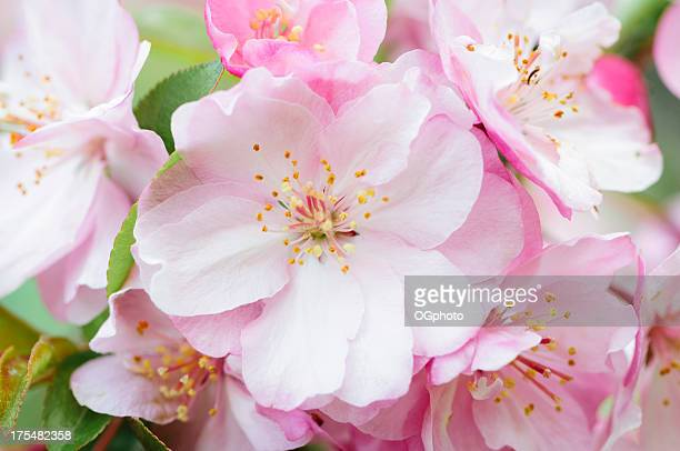 pink cherry blossoms - ogphoto stock pictures, royalty-free photos & images