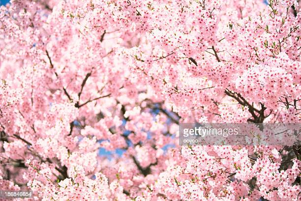 pink cherry blossoms - cherry tree stock photos and pictures