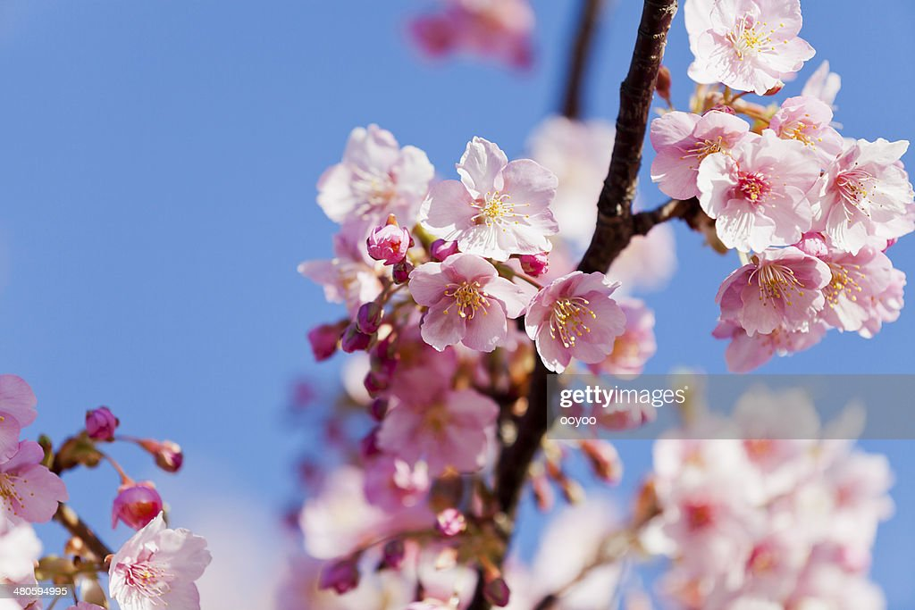 Pink Cherry Blossoms : Stock Photo