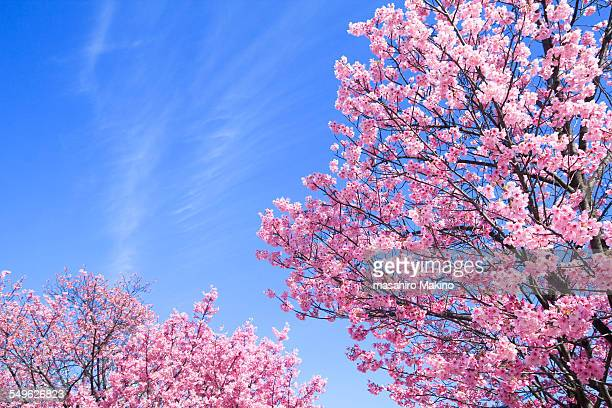 pink cherry blossoms - japanese tree stock photos and pictures
