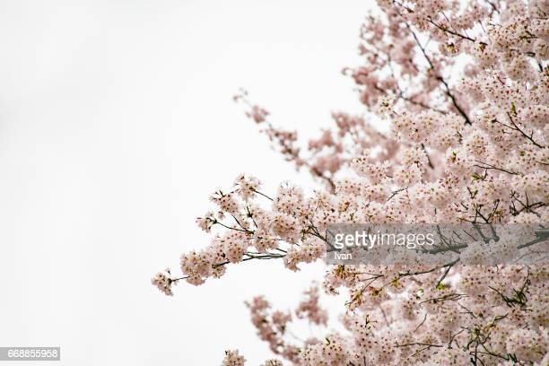 Pink Cherry blossoms with White Background