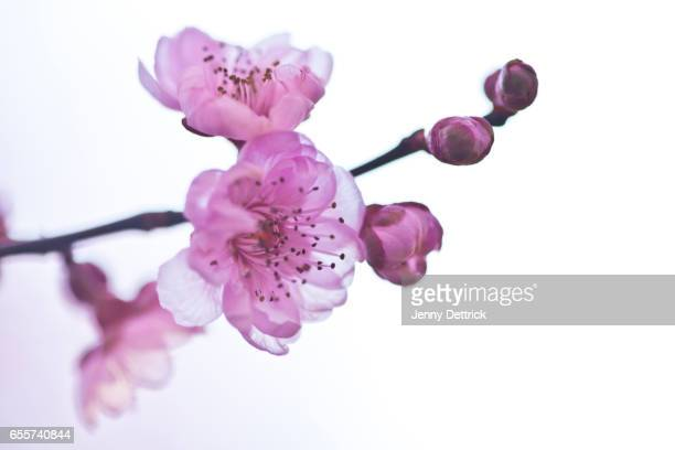 Pink cherry tree blossoms in spring