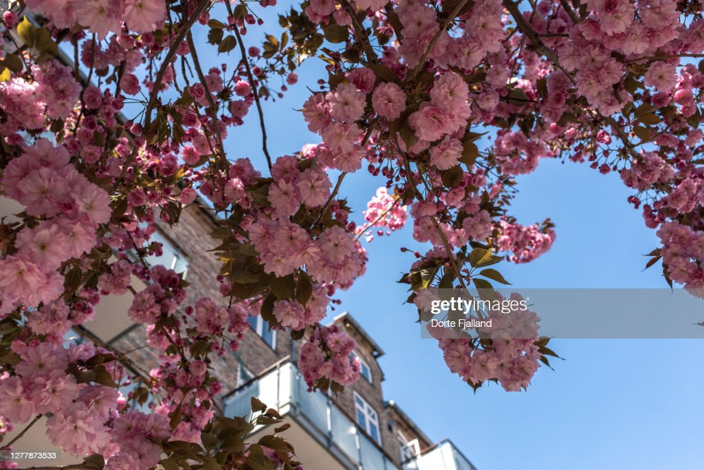 Pink cherry tree with an apartment building and a blue sky in the background : Foto de stock