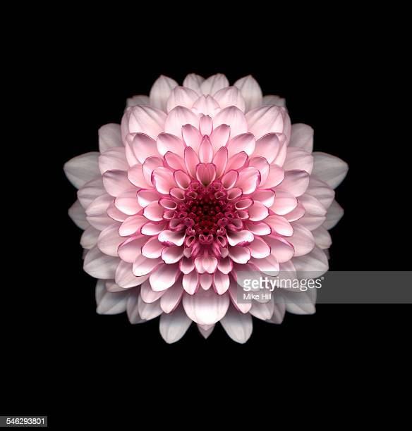 pink chrysanthemum against black background - chrysanthemum imagens e fotografias de stock