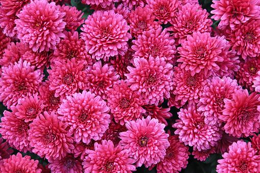Pink Chrysanthemum, also called Mums or Chrysanths - gettyimageskorea