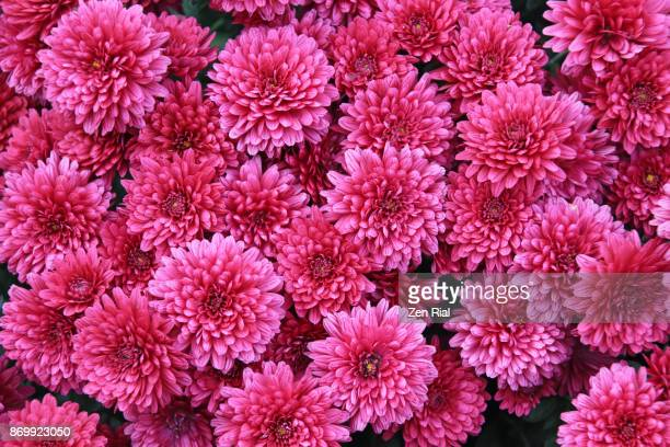 pink chrysanthemum, also called mums or chrysanths - pink flowers stock pictures, royalty-free photos & images