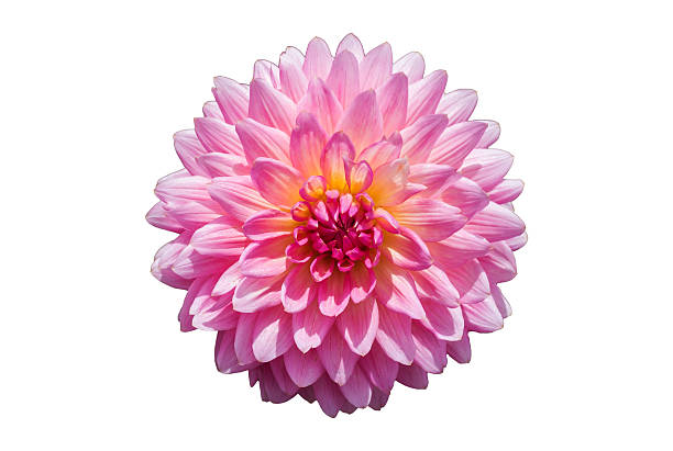 Free white chrysanthemum images pictures and royalty free stock pink chrysanthemum flower isolated on white background mightylinksfo