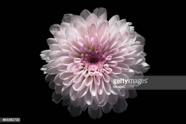 Pink Chrysanthemum Flower on Black Background